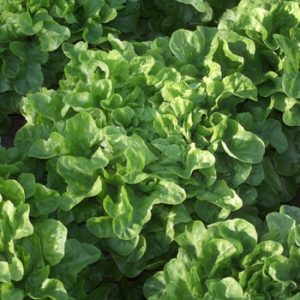 pr-agro-krilda-f1-salat-rajk-czvaan