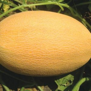 pr-agro-mazian-f1-dynya-vilmorin