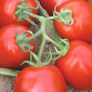 pr-agro-muna-f1-tomat-vilmorin