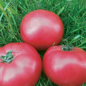 pr-agro-pink-kristal-f1-tomat-vilmorin