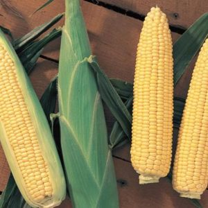 pr-agro-sentinel-f1-kukuruza-vilmorin