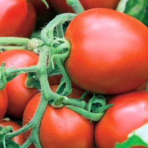 pr-agro-suriya-f1-tomat-vilmorin
