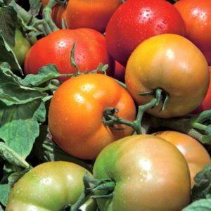 pr-agro-tribeka-f1-tomat-vilmorin