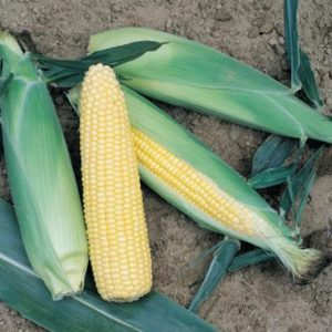 pr-agro-turbo-f1-kukuruza-vilmorin