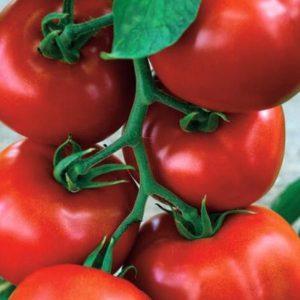pr-agro-zadurella-f1-tomat-vilmorin