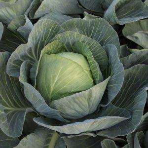 pr-agro-zielonor-f1-kapusta-belokochannaya-singenta