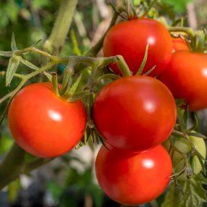 gravitet-f1-tomat-singenta