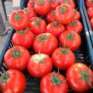 kvalitet-f1-tomat-singenta
