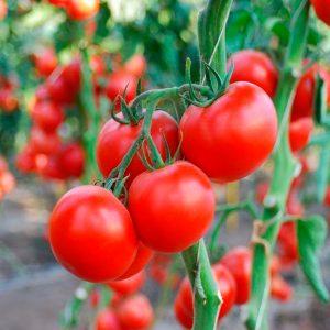 makarena-f1-tomat-singenta