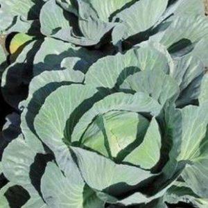 pr-agro-ammon-f1-kapusta-belokochannaya-seminis