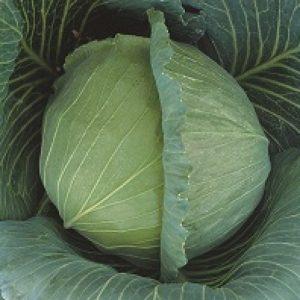 pr-agro-atriya-f1-kapusta-belokochannaya-seminis
