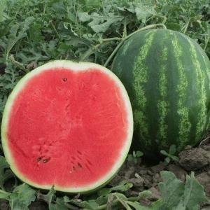 pr-agro-bonta-f1-arbuz-seminis