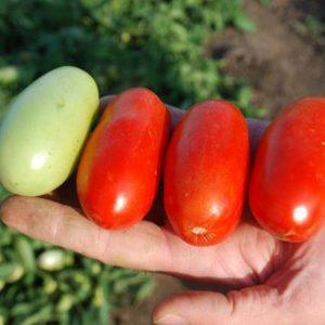 pr-agro-erkol-f1-tomat-singenta