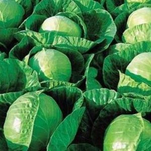 pr-agro-germes-f1-kapusta-belokochannaya-seminis