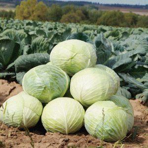 pr-agro-larsiya-f1-kapusta-belokochannaya-seminis