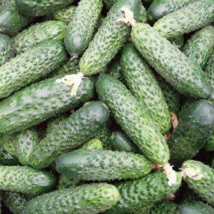 pr-agro-3506-f1-ogurecz-seminis