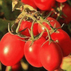 pr-agro-6-punto-7-f1-tomat
