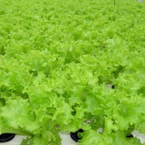 pr-agro-hyudzhin-f1-salat-seminis
