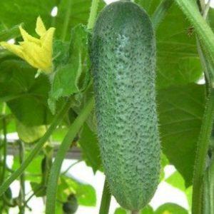 pr-agro-korentin-f1-ogurecz-seminis