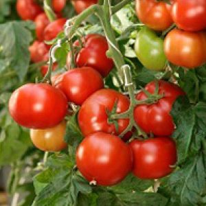pr-agro-korvinus-f1-tomat-seminis