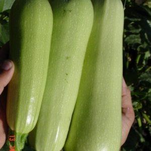 pr-agro-marzuka-f1-kabachok-seminis