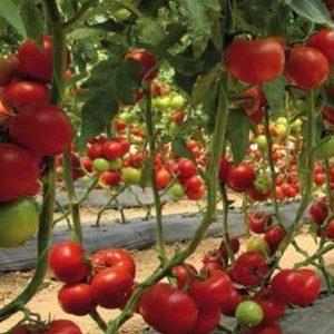 pr-agro-matissimo-f1-tomat-seminis