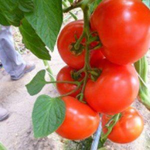 pr-agro-melodiya-f1-tomat-seminis