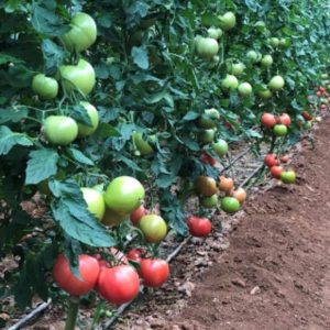 pr-agro-pink-profit-f1-tomat-sakata