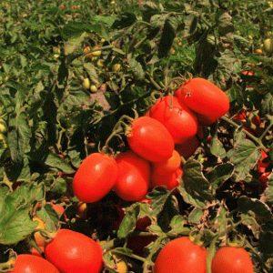 pr-agro-veloz-f1-tomat-seminis