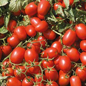 pr-agro-advans-f1-tomat-nyunems