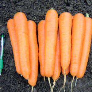 pr-agro-antilio-f1-morkov-vilmorin