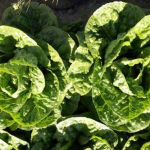 pr-agro-asaf-f1-salat-ajsberg-hazera