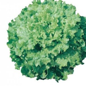 pr-agro-dedal-f1-salat-vilmorin