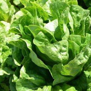 pr-agro-dikla-f1-salat-romen-hazera