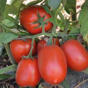 pr-agro-kalista-f1-tomat-hazera