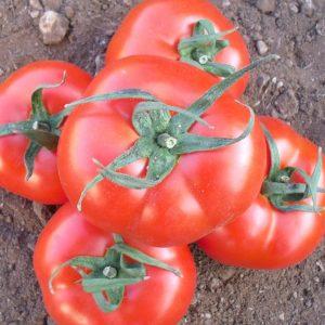 pr-agro-majsalun-f1-tomat-nyunems