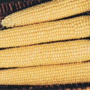 pr-agro-megaton-f1-kukuruza-vilmorin