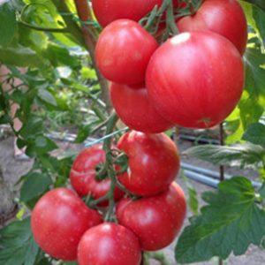 pr-agro-pink-klejr-f1-tomat-hazera