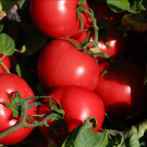 pr-agro-platinum-f1-tomat-nyunems