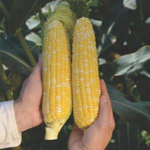 pr-agro-rouzi-f1-kukuruza-vilmorin