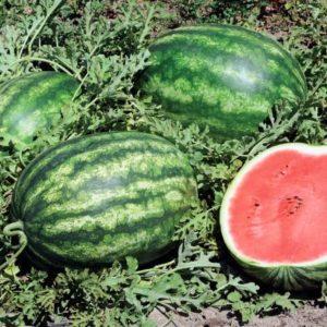 pr-agro-tango-f1-arbuz-vilmorin