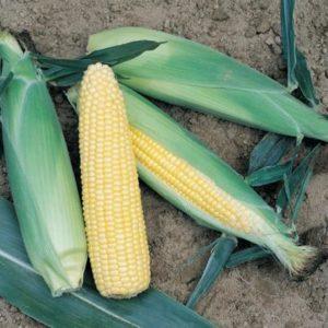 pr-agro-turbo-f1-kukuruza-vilmorin-2