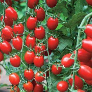 pr-agro-v-355-f1-tomat-vilmorin