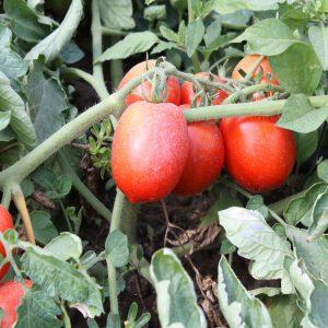 rp-agro-red-skaj-f1-tomat-nyunems
