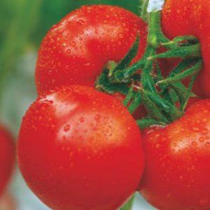 pr-agro-altair-f1-tomat-gavrish