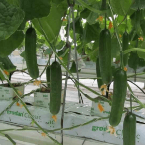 pr-agro-ermak-f1-ogurecz-gavrish