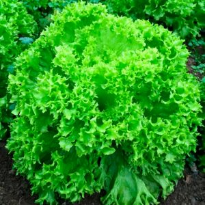 pr-agro-oniks-f1-salat-nyunems