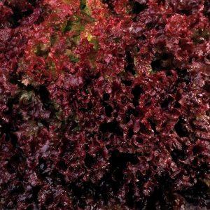 pr-agro-revolyucziya-f1-salat-nyunems