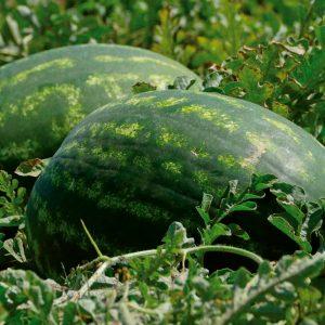 pr-agro-tamerlan-f1-arbuz-nyunems