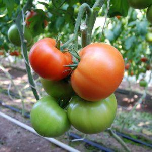 pr-agro-belfast-f1-tomat-enza-zaden